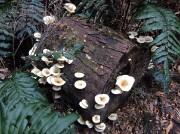 Otway Fly - beautiful fungus on the walk