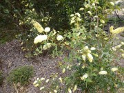 Walk Cranbourne Gardens 18 Sept 2013